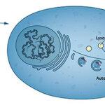 Nagroda Nobla za odkrycie detoksu komórkowego